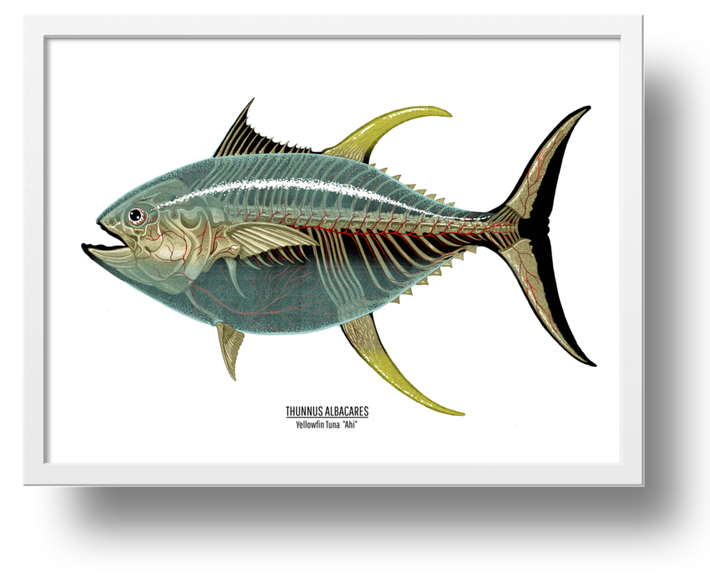 """Thunnus Albacares"" by Nychos.  18"" x 24"" 11-color Screenprint.  Ed of 100 S/N.  $150"